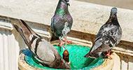 Enfermedades de las plagas de palomas